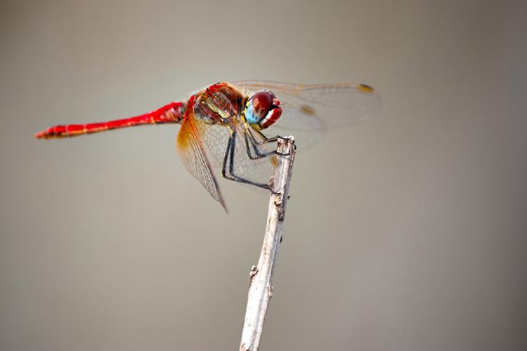 蜻蛉(トンボ)が登場する夢の夢占い