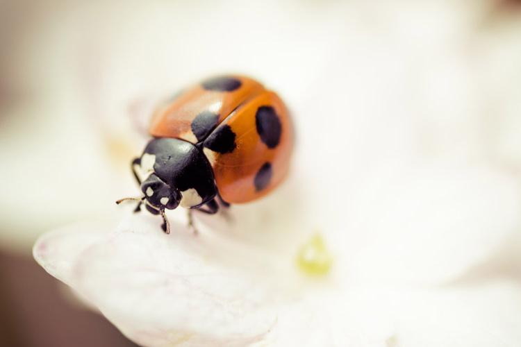 てんとう虫が暗示する夢の夢占い