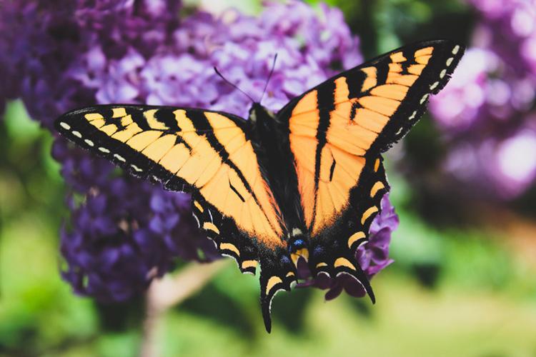 蝶の夢の夢占い