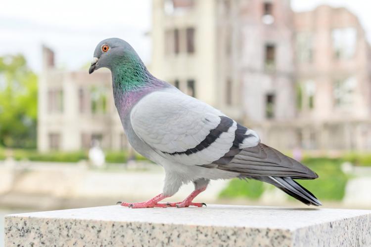 鳩(ハト)が登場する夢の夢占い